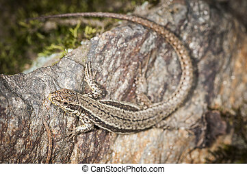 Podarcis muralis full body shot - Elevated full-body view of...