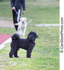 Poddle in the park with retriever in background - Cute black...