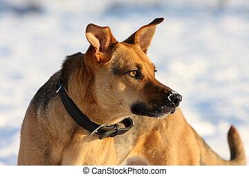 Podenco-Shepherd-Mix in snow Portrait