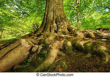 poderoso, raizes, de, um, majestoso, árvore faia