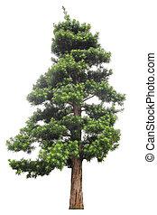 podocarpus, blanc, isolé