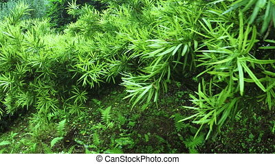 Podocarpus macrophyllus in botanic garden