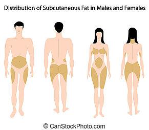 podskórny, tłuszcz, w, ludzki