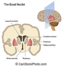 podstawowy, mózg, jądra
