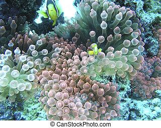 podwodny, koral, malediwy, strzał, wyspy