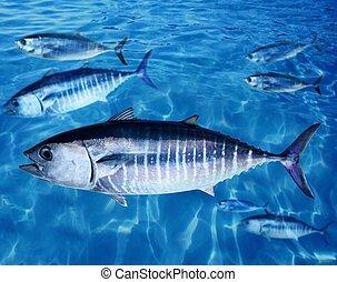 podwodny, thynnus, thunnus, fish, bluefin, szkoła, tuńczyk