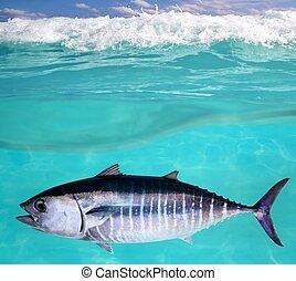 podwodny, thynnus, thunnus, fish, bluefin, tuńczyk, pływacki