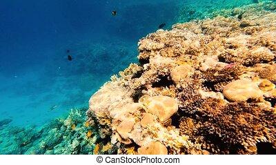 podwodny, tropikalny, fishes., barwny