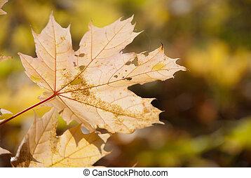 podzim, velmi, list, mělký, upravit ohnisko čočky.
