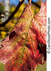 podzim, vinice, listoví