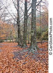 podzim zapomenout, les, barvitý
