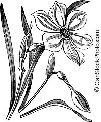 Poet's Daffodil or Narcissus poeticus, vintage engraved...