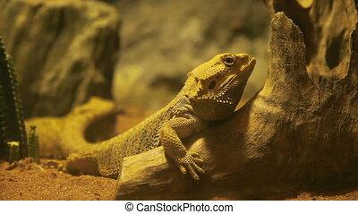 Pogona (also known as bearded dragon). Iguana takes a nap on...