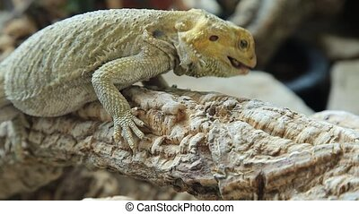 Pogona eating beetle - Pogona Vitticeps or Bearded Dragon,...