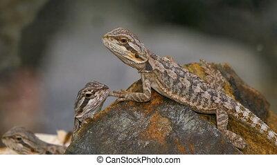 Pogona Reptile Couple - Pogona is a genus of reptiles...