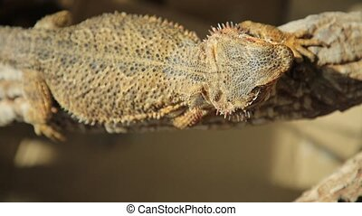 Pogona Vitticeps basking - close-up of a Pogona Vitticeps...