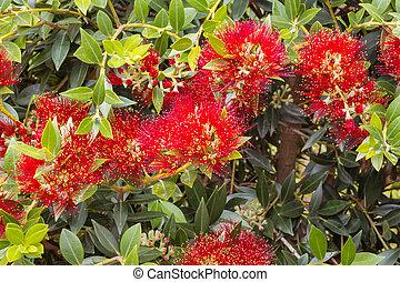 pohutukawa, arbre, clair, fleurs, fleur, rouges