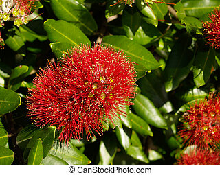 Pohutukawa flower, bright red close-up with leavy background.