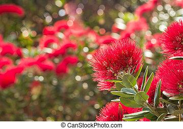 Pohutukawa - New Zealand Christmas tree flowers in bloom