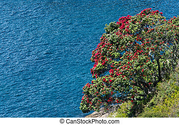 Pohutukawa red flowers blossom on the month of December contrast against the blue water of the Pacific Ocean, New Zealand.