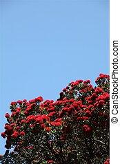 Blooming pohutukawa tree (christmas tree) of New Zealand against blue sky