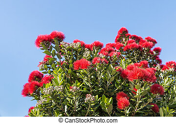 pohutukawa tree flowers in bloom against blue sky