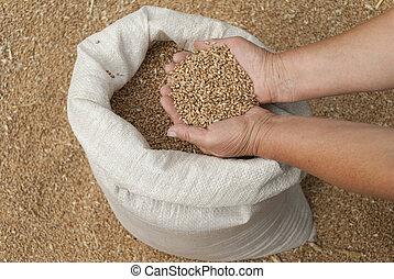 poignée, de, grains, de, blé, sur, les, palms.