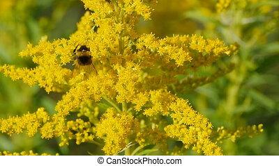 poilu, bourdon, fleurs, jaune, rayé
