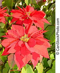 Poinsettia 3 - The well known Christmas flower. It is...