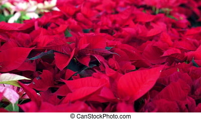 Poinsettia Christmas Plants Dolly - Dolly shot of an endless...