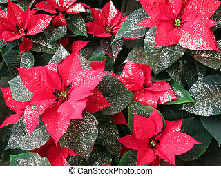 poinsettia, christmas star flower