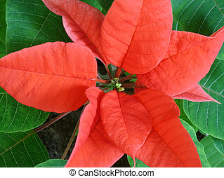Poinsettia closeup