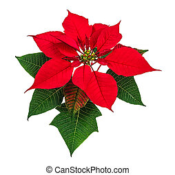 Poinsettia flower - Christmas red poinsettia flower isolated...