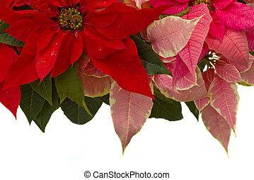 Poinsettia flower - christmas star