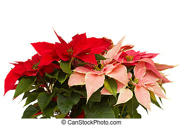 Poinsettia flower - christmas star