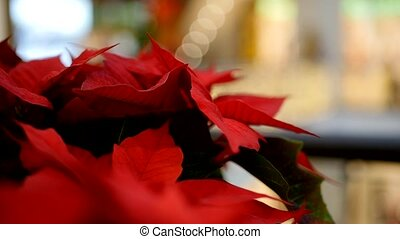 Poinsettia flower in winter holidays time - Closeup of...