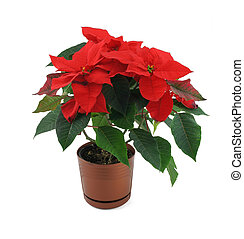 poinsettia flower isolated on white