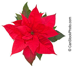poinsettia flower on white - top view - poinsettia flower on...