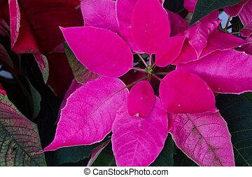poinsettia flowers or christmas star