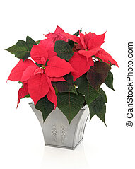 Poinsettia Flowers - Poinsettia flower arrangement in a...