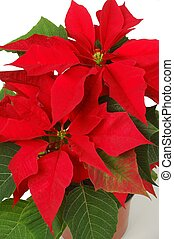 Poinsettia - Isolated poinsettia (euphorbia pulcherrima)
