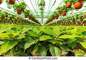 Poinsettia pulcherrima growing in pots