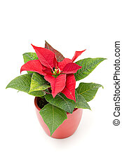 Poinsettia The Christmas Star Flower, isolated on white
