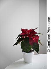 Poinsettia the Star of Bethlehem, symbol of Christmas on light background