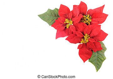Poinsettias flower - Christmas flower poinsettia with leafs...