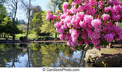 Point Defiance park in Tacoma, WA. USA. Pink rhododendron near pond.