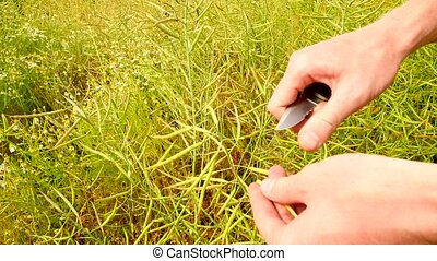 Point-of-view. Farmer hands cut with pocket knife oilseed...