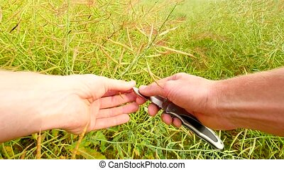 Point-of-view footage.  Man hands hold hull of oilseed just in front of camera. Farmer cut with pocket knife green and brown beans and check the quality of seeds.