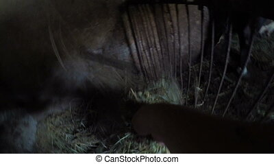 Point of view hand of a man feeding cow with hay straws in...