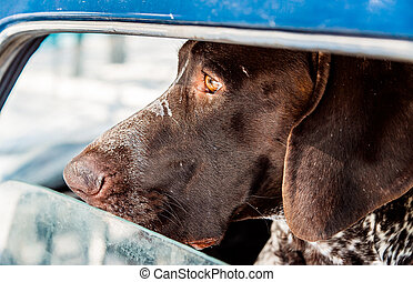 pointer dog is waiting in the car